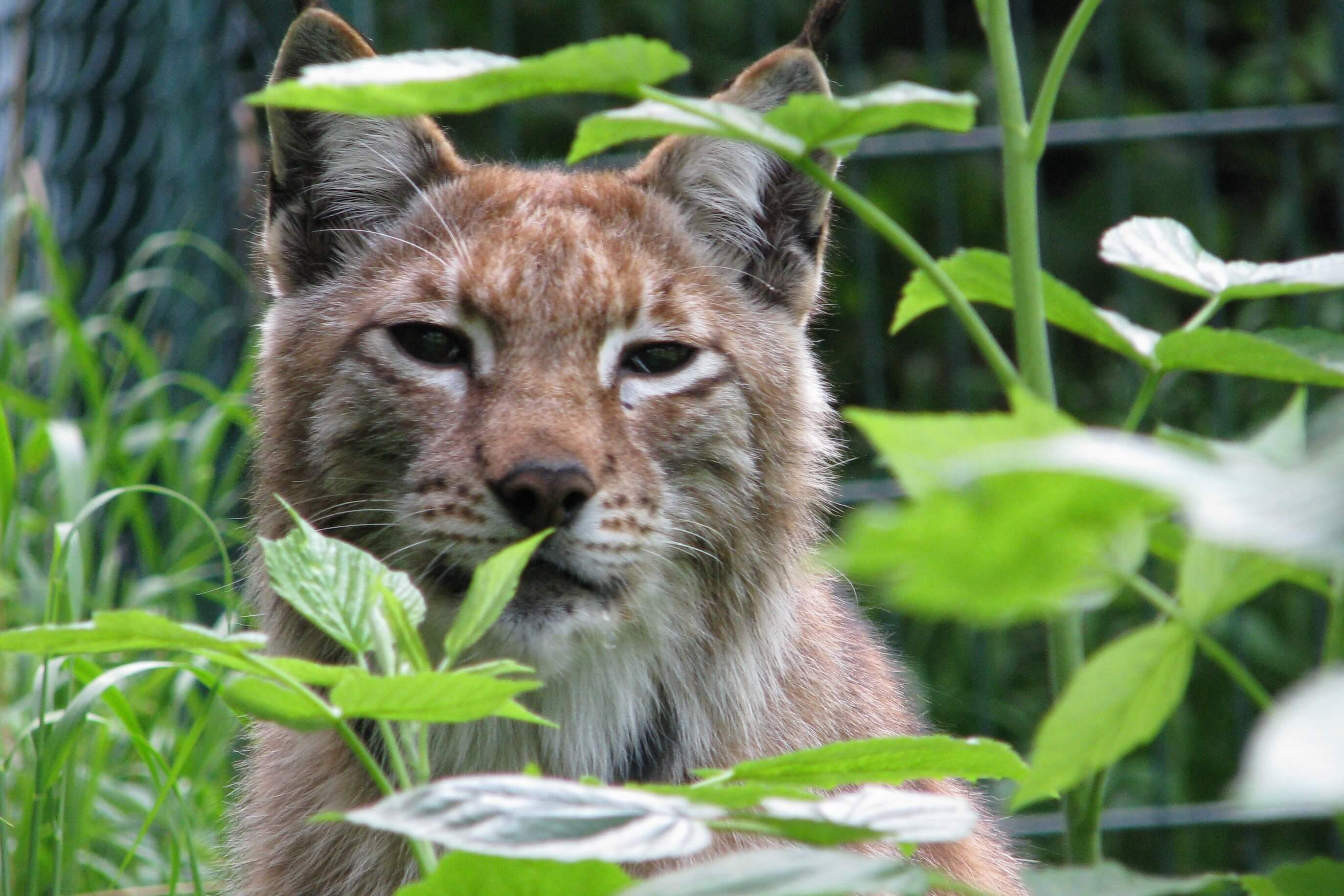 Nationalpark Harz - Luchs im Wildgehege