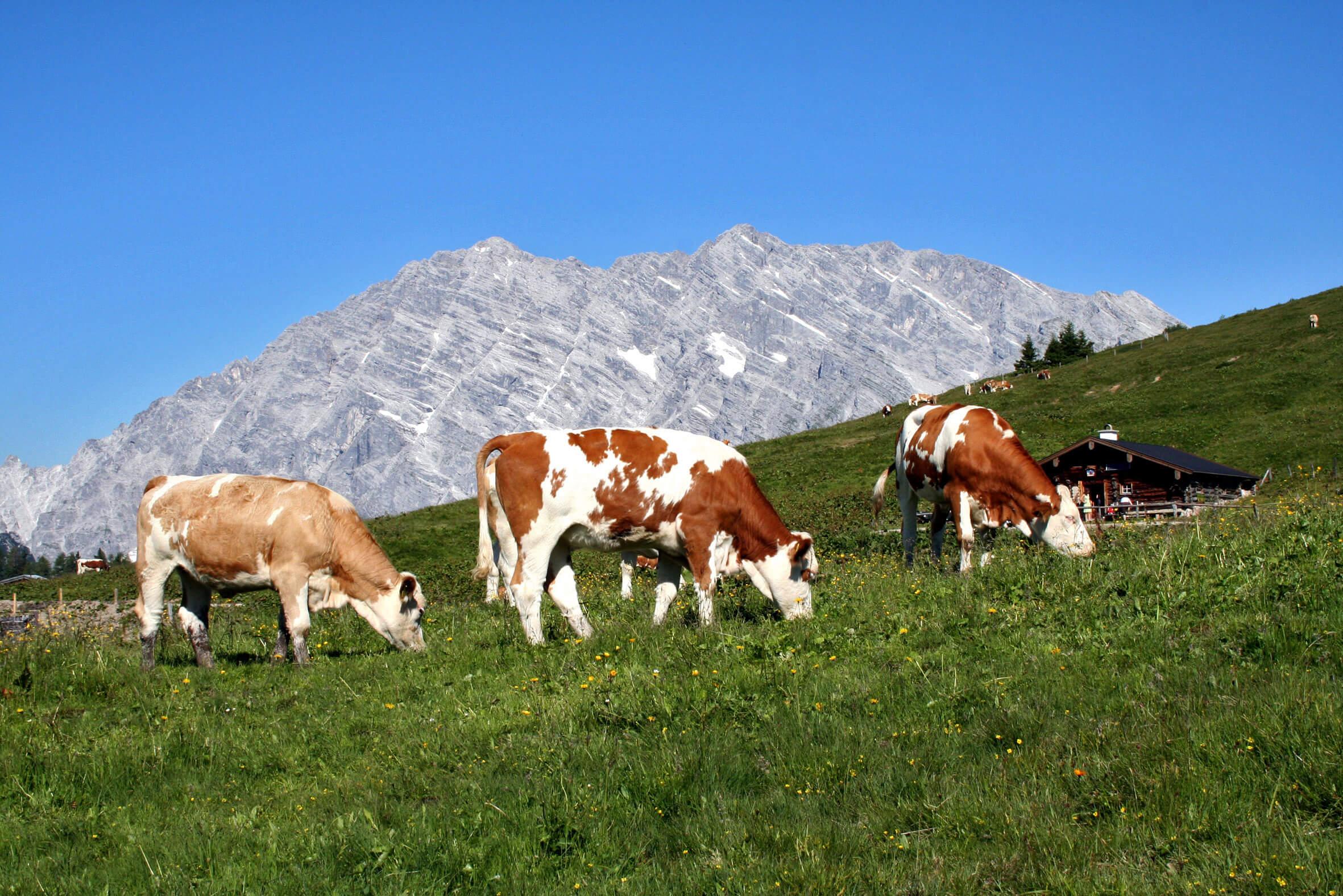 Nationalpark Berchtesgaden - Kühe vor Bergmassiv