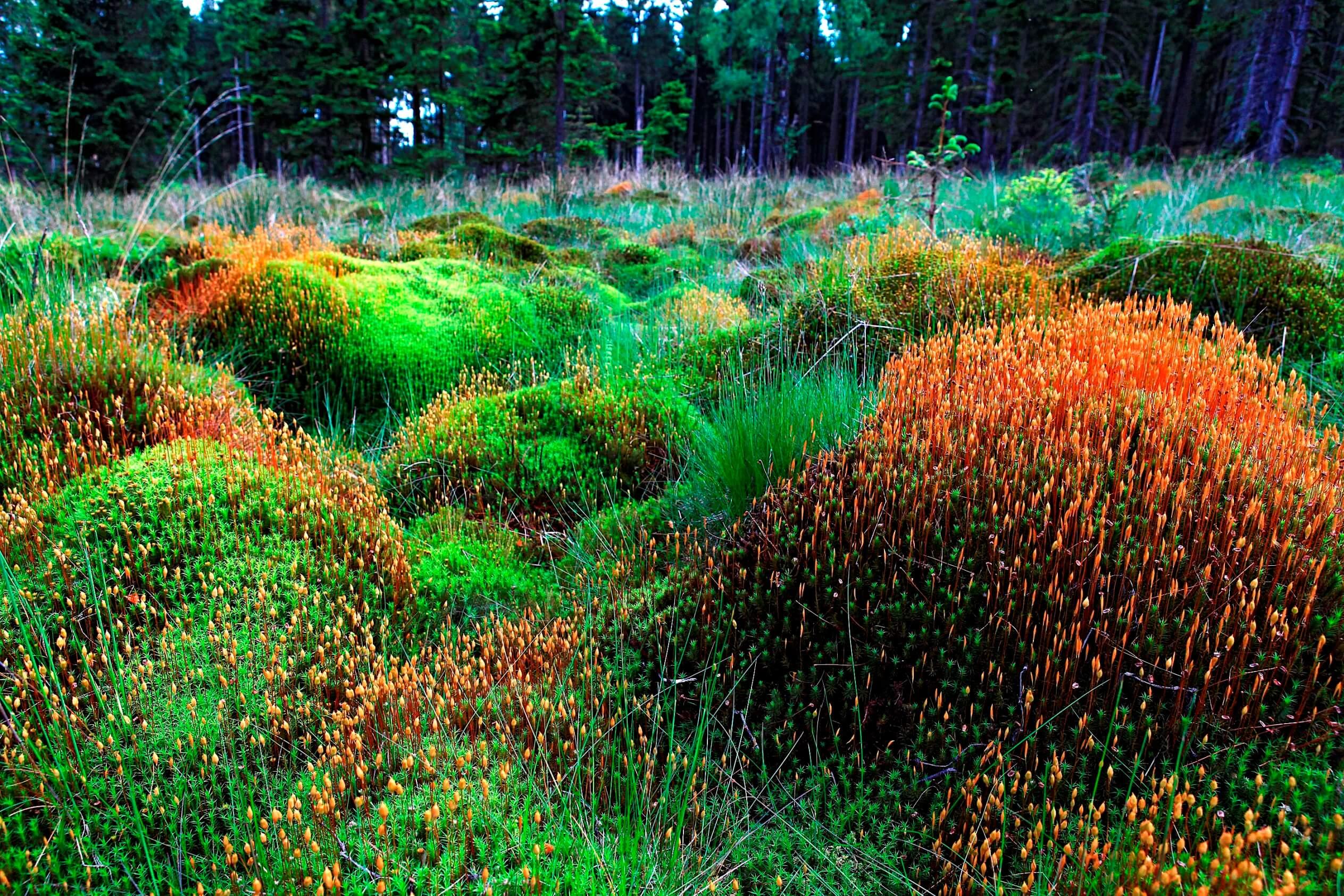 Nationalpark Hunsrück Hochwald - Frauenhaarmoos im Moor