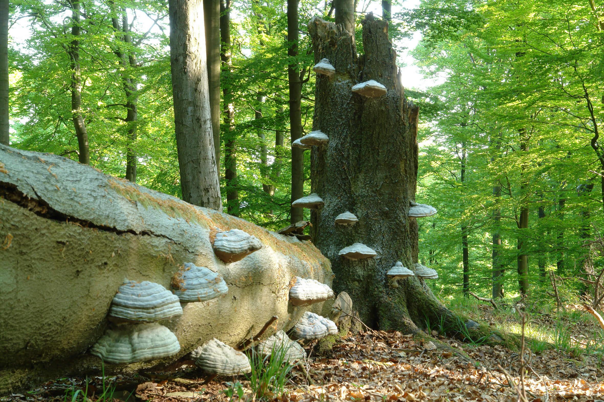 Nationalpark Kellerwald-Edersee - Baumpilze Ahornkopf