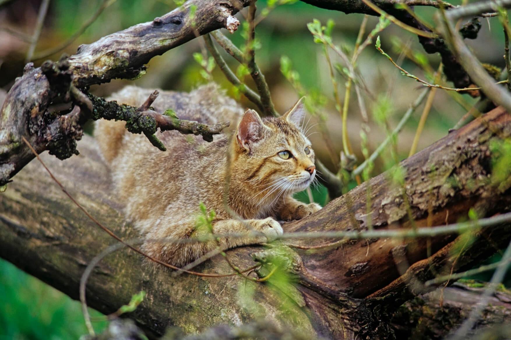 Nationalpark Hainich - Wildkatze im Baum