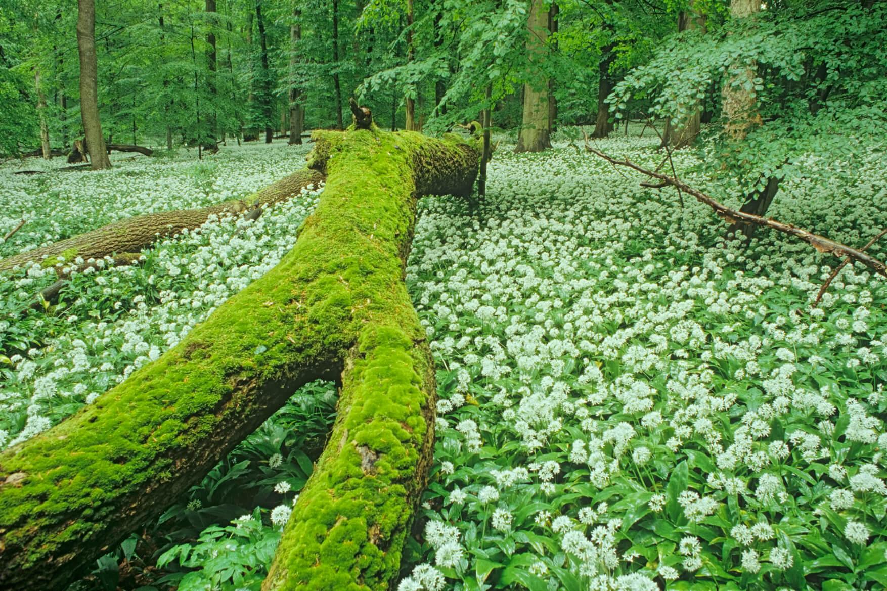 Nationalpark Hainich - Bärlauchteppich