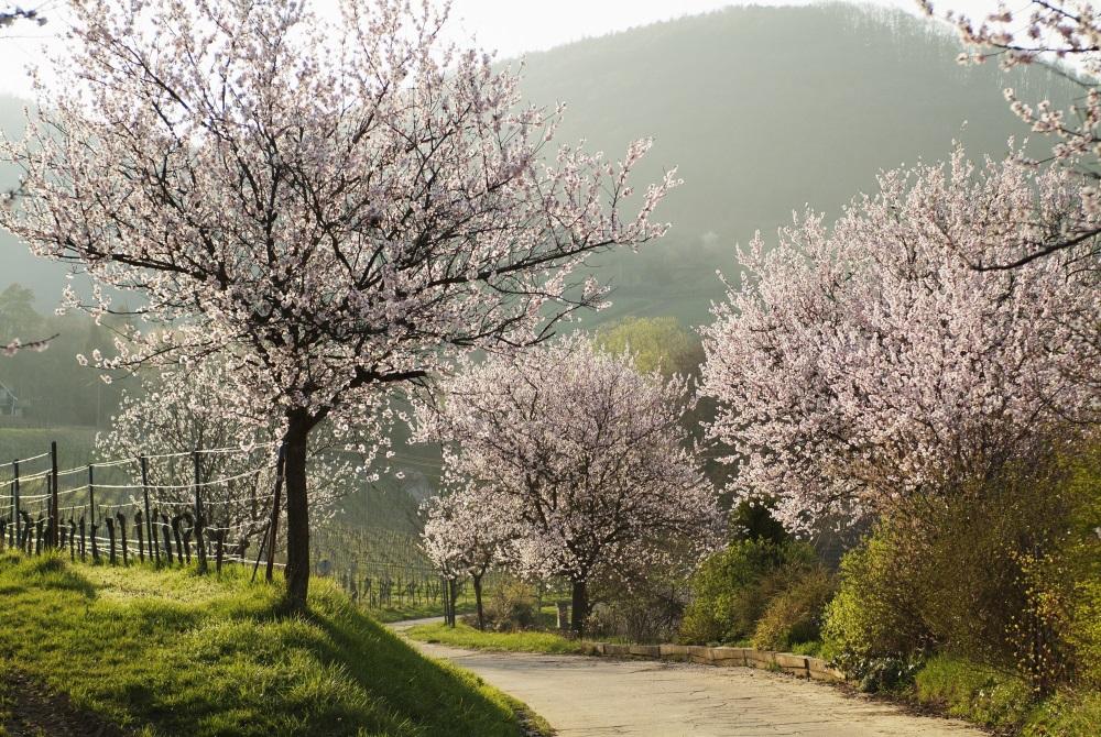 Wandern im Frühling - Pfälzer Mandelweg